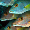 School Masters Snappers, Cayman Brac. 2006.  16 X 26 inches.<br /> Limited to 10 prints only.   $500.00 unframed.