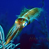 Reef squid, Cayman Brac. 2007.  16 X 26 inches.<br /> Limited to 10 prints only.   $500.00 unframed.