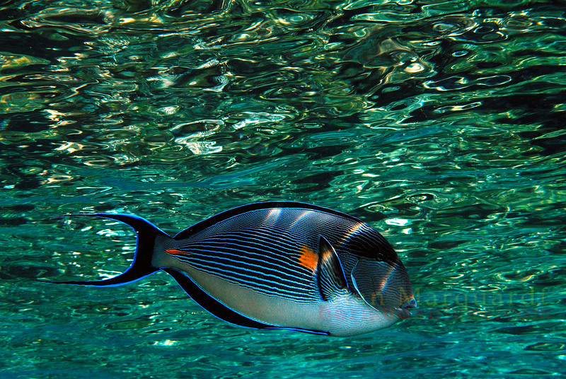 Sohol Surgeonfish, Red Sea. 2007.   Printed on canvas, 48 X 36 inches.<br /> Limited to 7 prints.  $1600.00 unstreched.