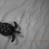 Hawksbill Turtle, Cayman Brac. 2007.  Printed on canvas, 48 X 36 inches.<br /> Limited to 7 prints.  $1600.00 unstreched.