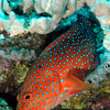 Coral grouper, Red Sea. 2007.  16 X 26 inches.<br /> Limited to 10 prints only.   $500.00 unframed.