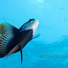 Empera Angelfish. Red Sea. 2007.  16 X 26 inches.<br /> Limited to 10 prints only.   $500.00 unframed.