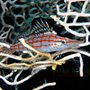 Longnose Hawkfish on sea fan. Red Sea. 26 X 16 inches.<br /> Limited to 10 prints only.   $500.00 unframed.