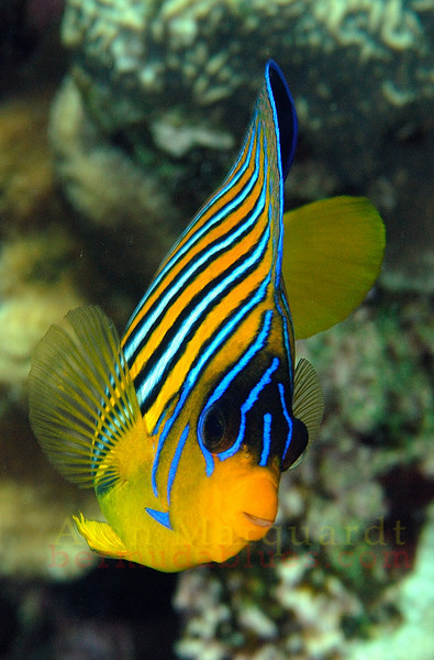 Royal Angelfish, Red Sea. 2007.  16 X 24 inches<br /> Limited to 10 prints only.   $500.00 unframed.