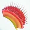 40 Venus Flytrap leaf tip