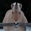 57 Norwegian Fjord horse, Canmore, Alberta