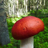 36 The Sickener  / Russula emetica