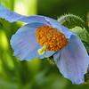 155  Himalayan Blue Poppy / Meconopsis betonicifolia