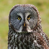 148  Great Grey Owl