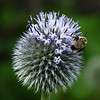 52 Bee on a Globe Thistle