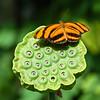 03  Butterfly on Sacred Lotus seedpod