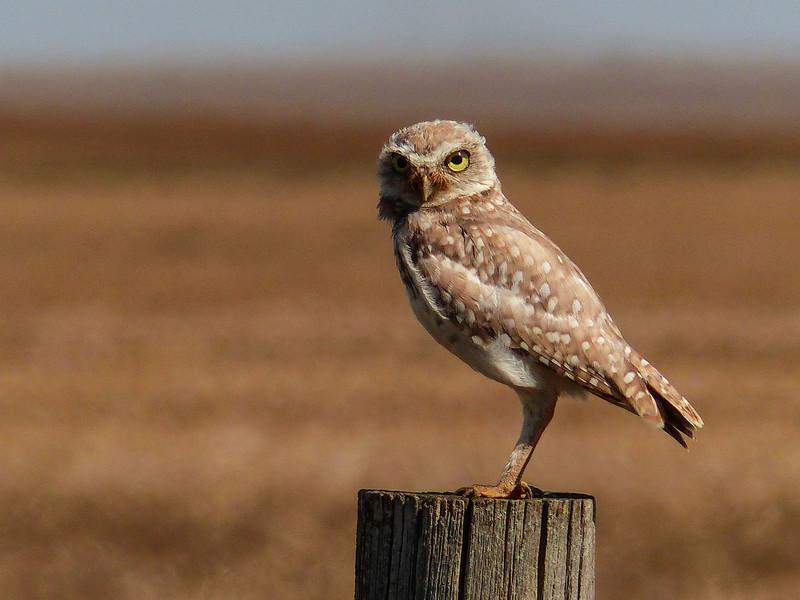 115  Burrowing Owl