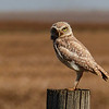 115  Burrowing Owl