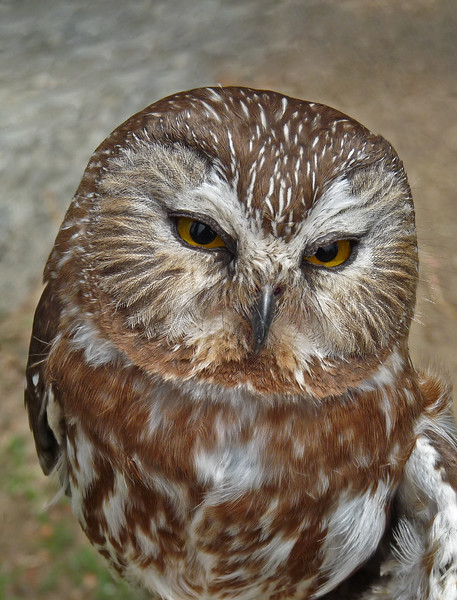 249  Northern Saw-whet Owl, injured and in rehab
