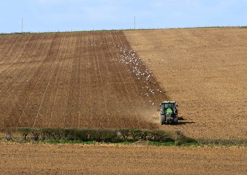 Busy Gulls chasing the tractor