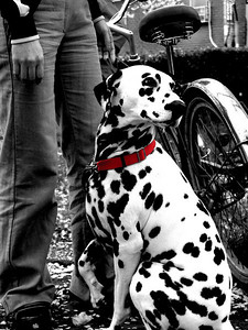Osaka, Japan Taken at a blossom viewing party in Daikokucho Osaka.  The most beautiful Dalmatian i have ever seen.