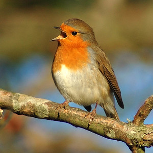 Robin of Rodborough