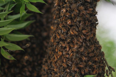 """A swarm of bees have taken up residency on these branches of a tree at First and Broadway Wednesday April 18, 2017 in Chico, California. Hobby beekeeper David Lusk came to knock the swarm out of the tree and said it was a """"two football field swarm"""" which is a huge amount of bees.(Emily Bertolino -- Enterprise-Record)"""