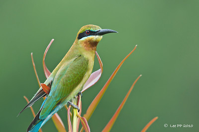 Blue-tailed bee-eater @ Byram, Penang, Malaysia  A friendly one that was so close to me and yet stayed for a while for shots.....