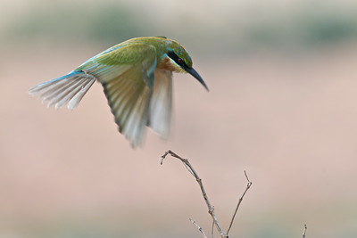 Blue-tailed bee-eater @ Byram, Penang, Malaysia  Almost there..........