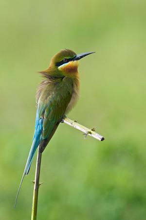 Blue-tailed bee-eater @ Seri Iskandar, Perak, Malaysia