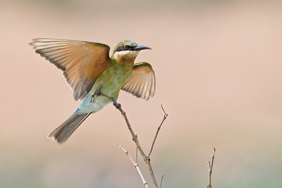 Blue-tailed bee-eater @ Byram, Penang, Malaysia  Touch-down!