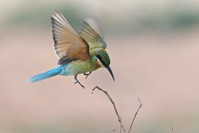 Blue-tailed bee-eater @ Penang, Malaysia