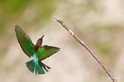 Blue-throated bee-eater @ Kinta Nature Park, Perak, Malaysia