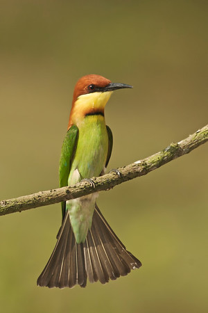 Chestnut-headed bee-eater @ Penang, Malaysia  The fanned tail sure looked like an evening gown :-)