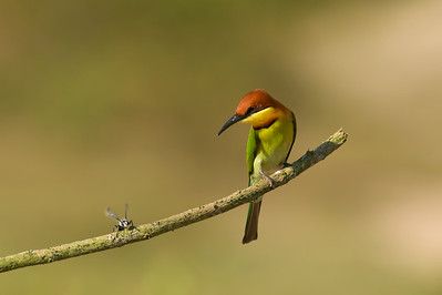 """Chestnut-headed bee-eater @ Penang, Malaysia  I just loved the stare given by the bee-eater to the bee....""""Are you sure you want to sit by me?""""  The bee must have understood the message and quickly flew away, saving its own skin in time."""