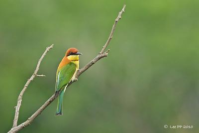 Chestnut-headed bee-eater @ Kinta Nature Park, Perak, Malaysia