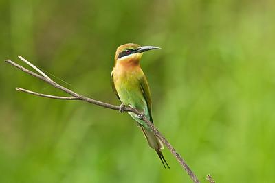 Blue-tailed bee-eater @ Ulu Dedap, Perak, Malaysia