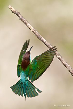 Blue-throated bee-eater @ Kinta Nature Park, Perak, Malaysia  Go for the bar!
