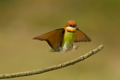 Chestnut-headed bee-eater @ Penang, Malaysia  It was not easy to time the bird's arrival shot as these little guys flew in fast and in silent mode! However, as they loved to come back to the same perch again and again, it made the photographer's life easier by pre-focusing on the perch and wait in patience.