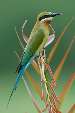 Blue-tailed bee-eater @ Byram, Penang, Malaysia  Had to push myself way back into the car in order to fit the bird within the frame and didnt crop off its tail !