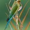 Blue-tailed bee-eater @ Byram, Penang, Malaysia