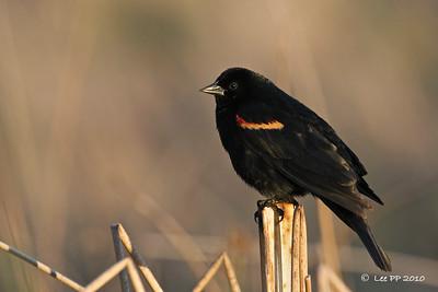 Red-winged blackbird in warm evening light......