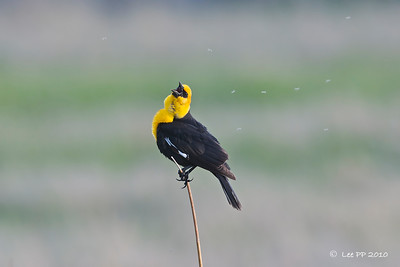 Yellow-headed blackbird  This bird sang for quite a while.... Springtime!