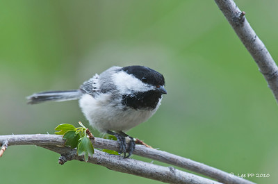 Black capped Chickadee @ Utah, USA  A regular visitor at the feeding station.