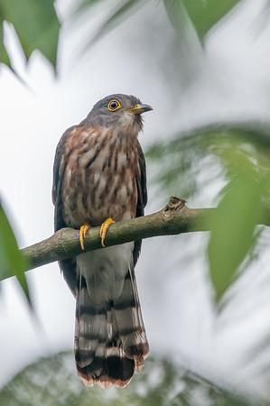Hodgson's Hawk-Cuckoo - Bukit Tinggi - March 2015