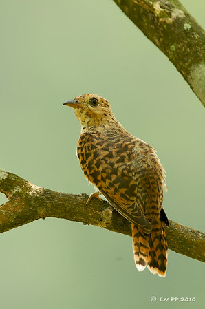 Plaintive Cuckoo - Juvenile