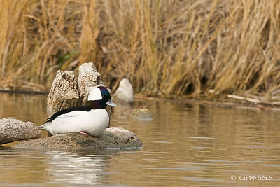 Bufflehead @ Bear River Bird Refuge, Utah