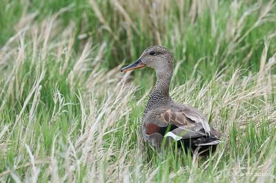 Gadwall - male @ Bear River Bird Refuge, Utah