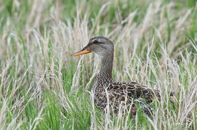 Gadwall - female  @ Bear River Bird Refuge, Utah