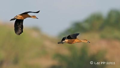 Lesser Whistling Ducks in flight