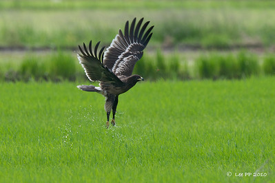 Greater Spotted Eagle (Juvenile) @ Penang, Malaysia