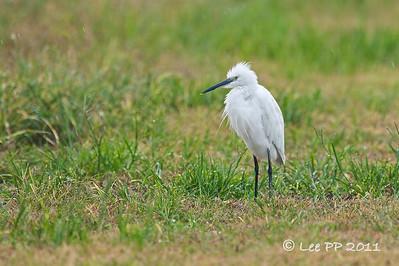 Little egret @ Ulu Dedap, Perak, Malaysia