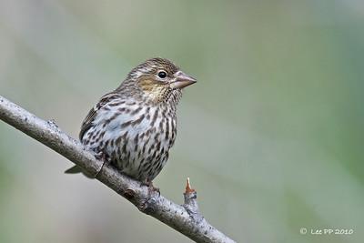 Cassin's Finch - female @ Utah, USA