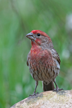 House Finch @ Utah, USA  In most cases, adult males' heads, necks and shoulders are reddish. This color sometimes extends to the stomach and down the back, between the wings. Male coloration varies in intensity with the seasons and is derived from the berries and fruits in its diet. As a result, the colors range from pale straw-yellow through bright orange (both rare) to deep, intense red. Adult females have brown upperparts and streaked underparts.