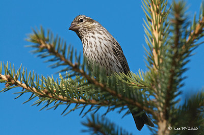 Cassin's finch @ Utah, USA  The only bird that wanted to have a top view check first become heading to the feeding station....